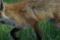 Red fox 24